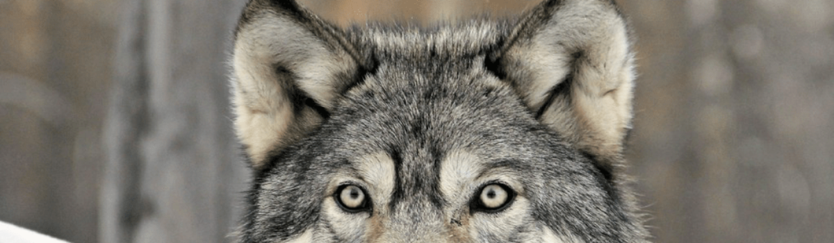 "Your Business' ""Grey Wolf"" (Part 3 of 3, Organization Rewilding)"